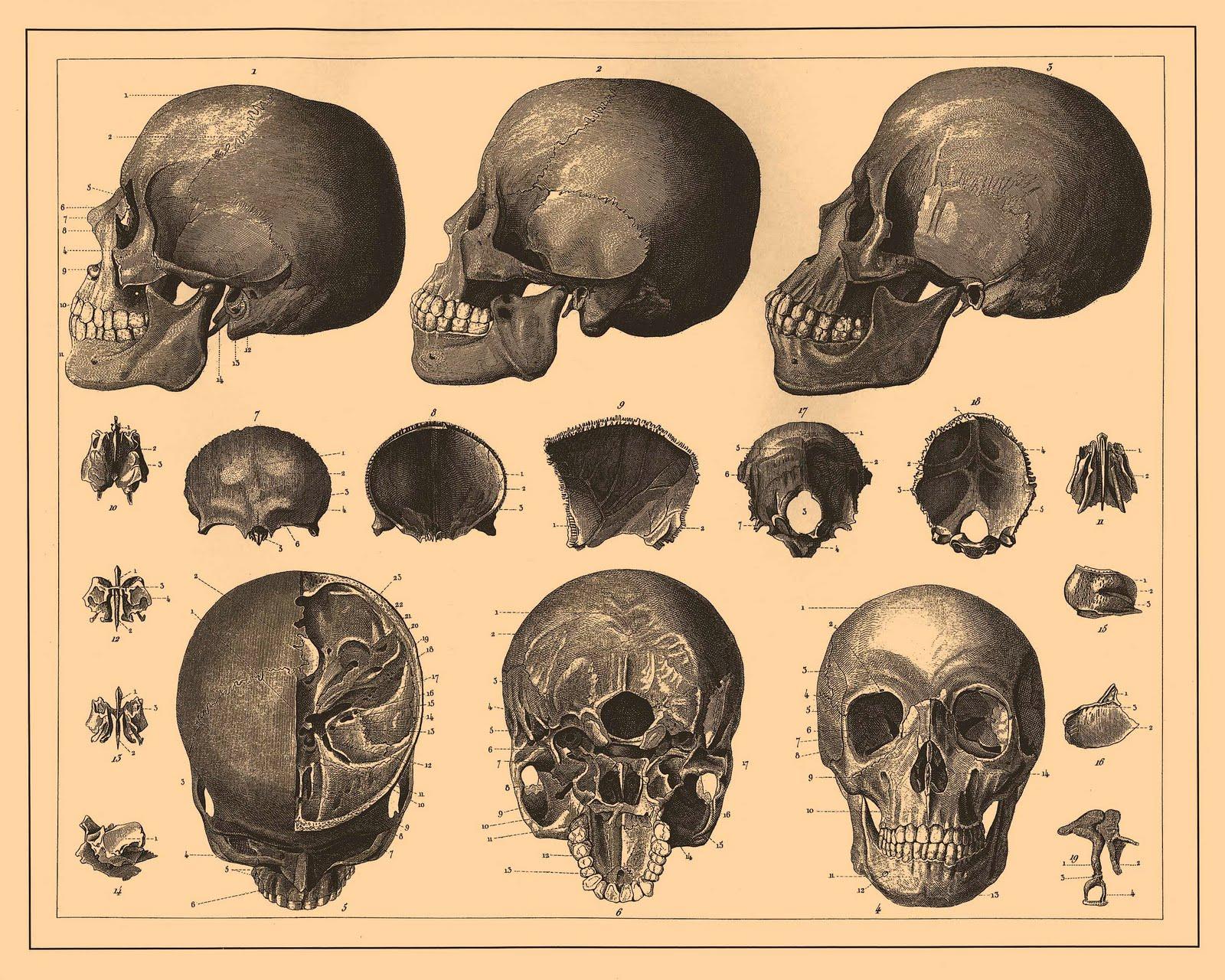 Vintage Ephemera: Skull and bone Illustrations (1890—1907)
