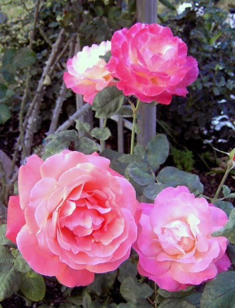 Roswila S Tarot Gallery Journal: Roswila's Dream & Poetry Realm: ROSE IS A ROSE IS A ROSE