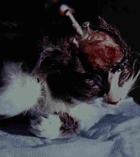 El gato Alobar antes de haber sido utilizado para la inserción de tubos y electrodos de forma permanente en su cerebro.