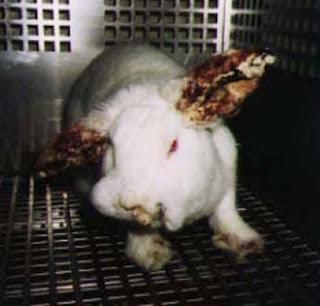 Conejo albino sometido a test Draize (Draize Skin Test).