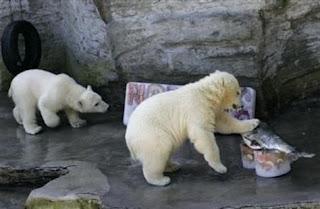 Osos polares en el parque zoológico de Hannover (Alemania).