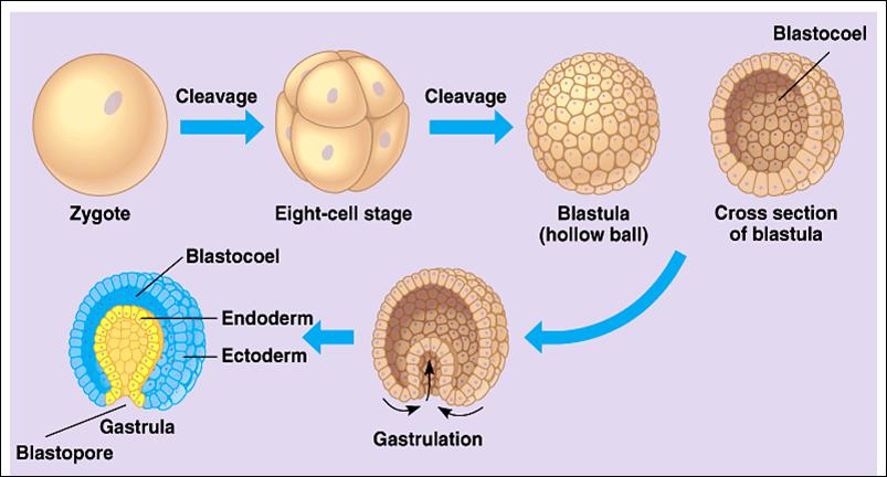 memasuki fase gastrula