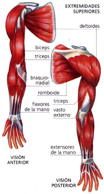 Educación Física en la Red: Los músculos del brazo