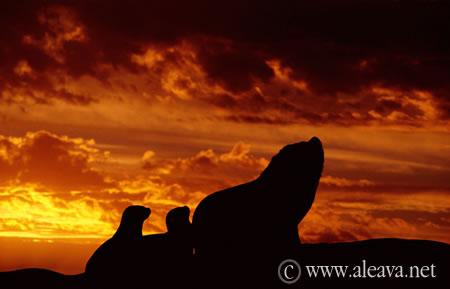Contraluz de un macho y 2 hembras en la Lobería de Punta Ameghino