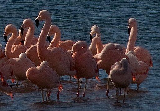 Flamenco Austral Isla de los Pajaros Península Valdés