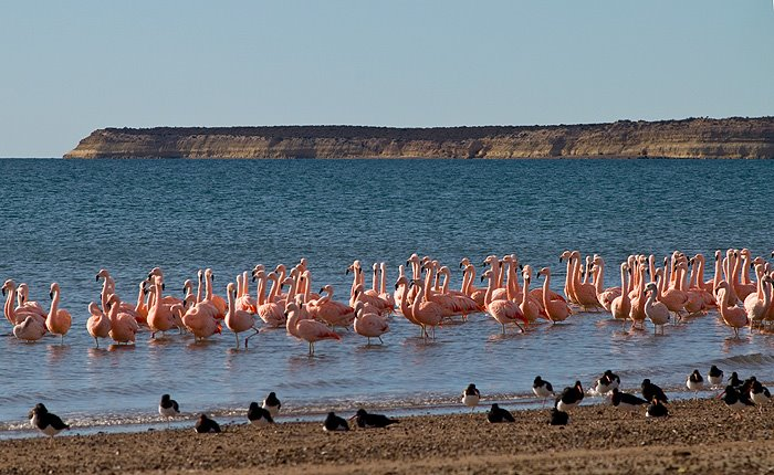 Flamenco Austral  Isla de los Pájaros Patagonia