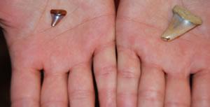 Existen dientes fosilizados de tiburón de muy variados tamaños