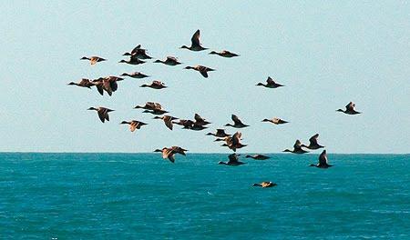 Bandada de Pato Crestón volando sobre el canal de ataque de Orcas en Punta Norte