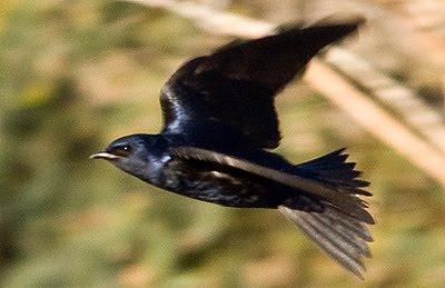 Golondrina Negra pájaro de Península Valdés
