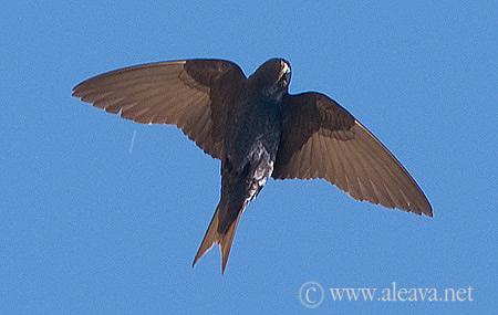Golondrina Negra Ave migratoria de Patagonia