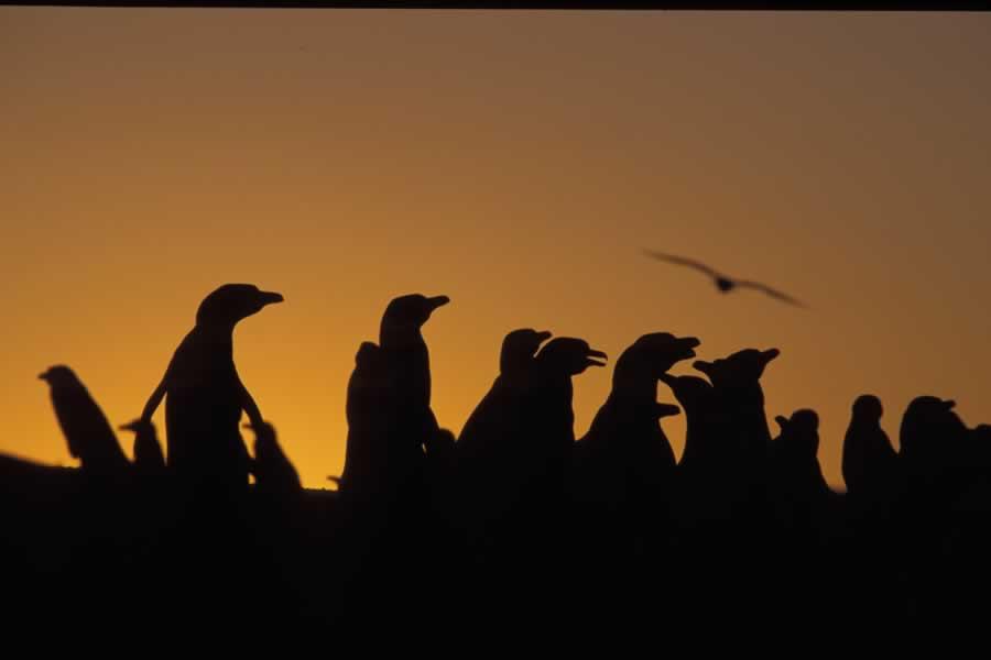 Pingüinos en Península Valdés Estancia San Lorenzo, mas cerca que Punta Tombo