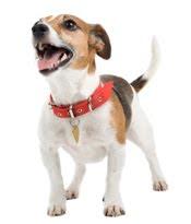 tratamiento de infección de piel de levadura para perros