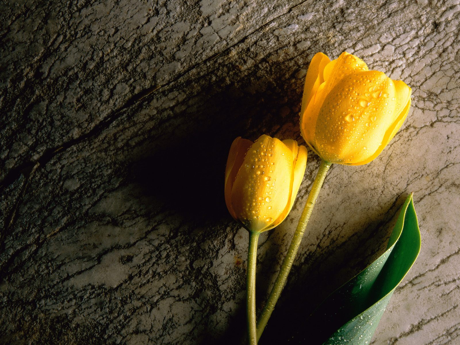 Yellow%25252520Tulip Beautiful Islamic Wallpapers Download