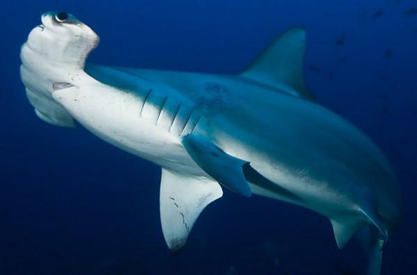 What do Hammerhead Sharks Eat?