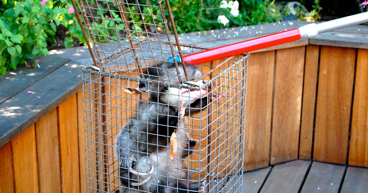 All City Animal Trapping Baby Opossums Baby Possum Possum With Babies Opossum With Babies Call