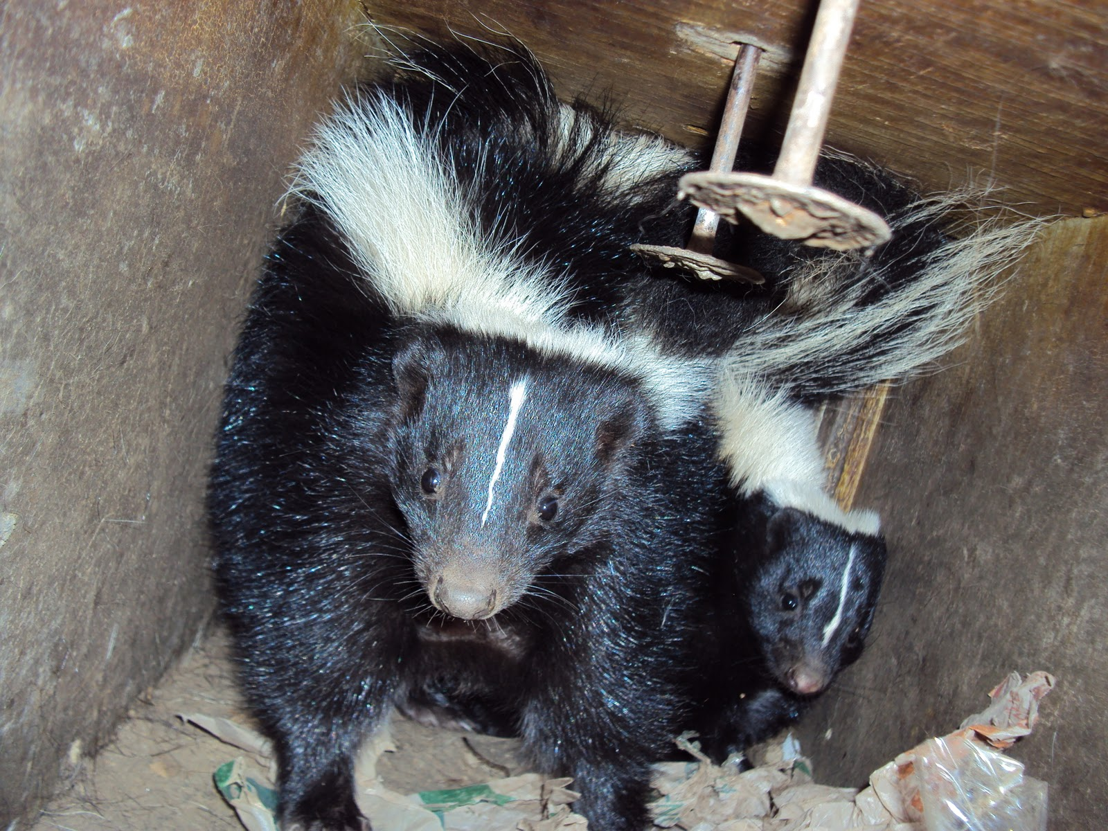 All City Animal Trapping Raccoon Opossum And Skunk