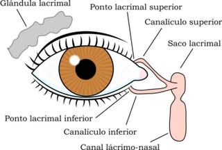 Glândulas do olho humano