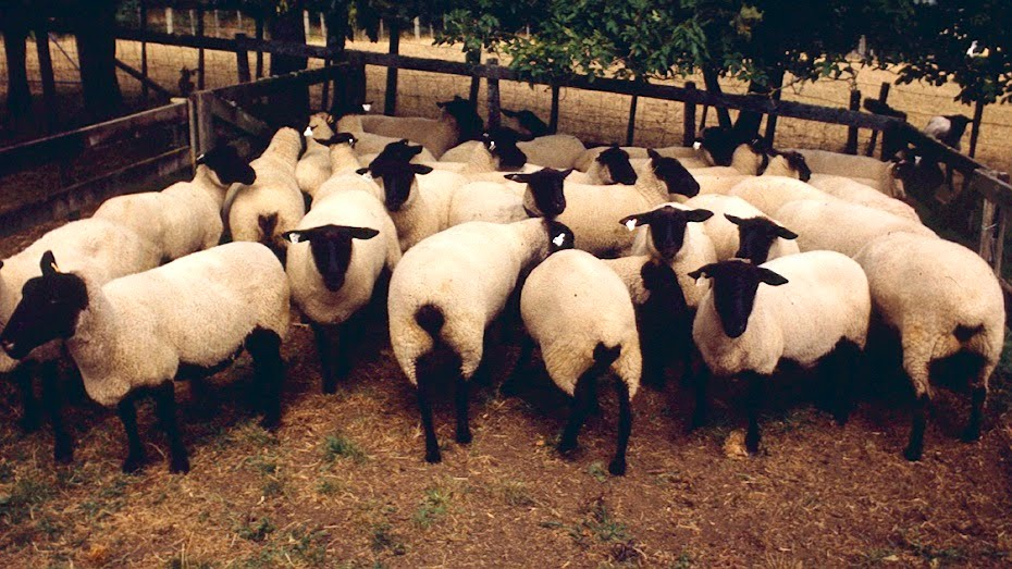 Woolshed 1: Sheep breeds in New Zealand
