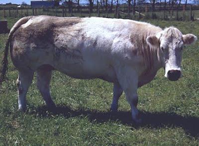 Woolshed 1: Cattle farm husbandry: Beef cattle breeds in New