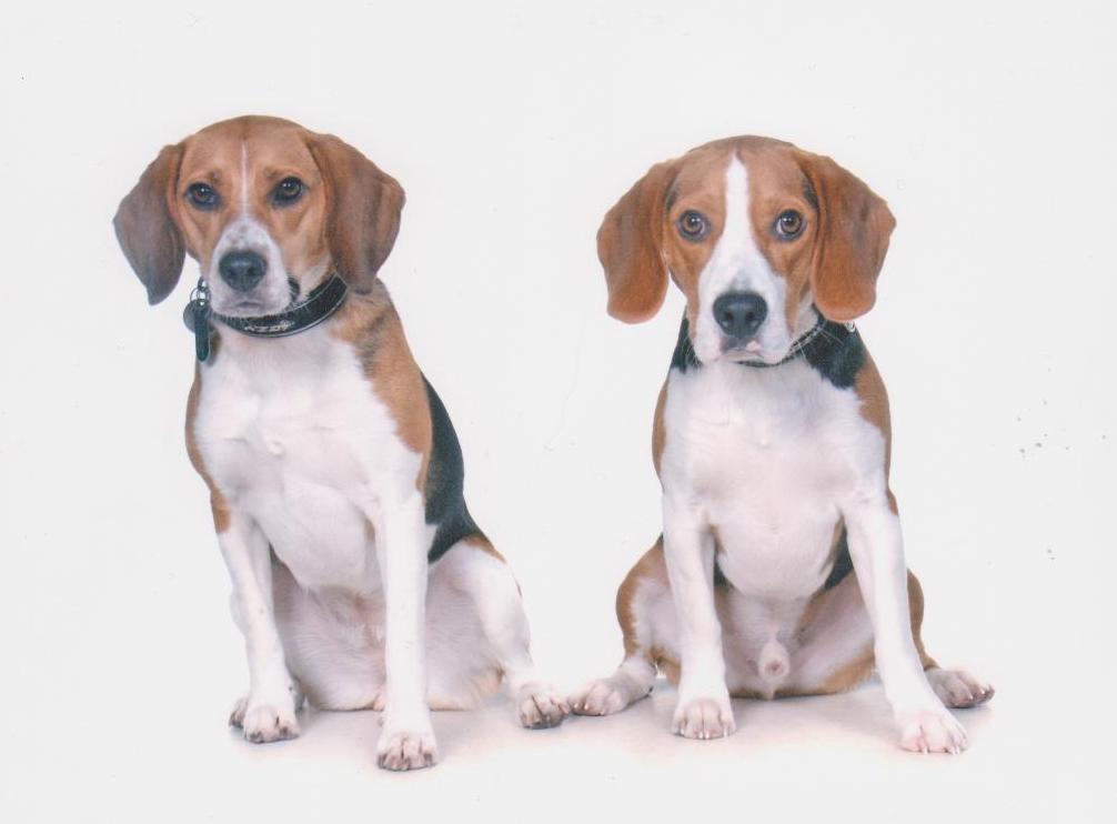 The Beagle Bugle: Clicker Training your Beagle