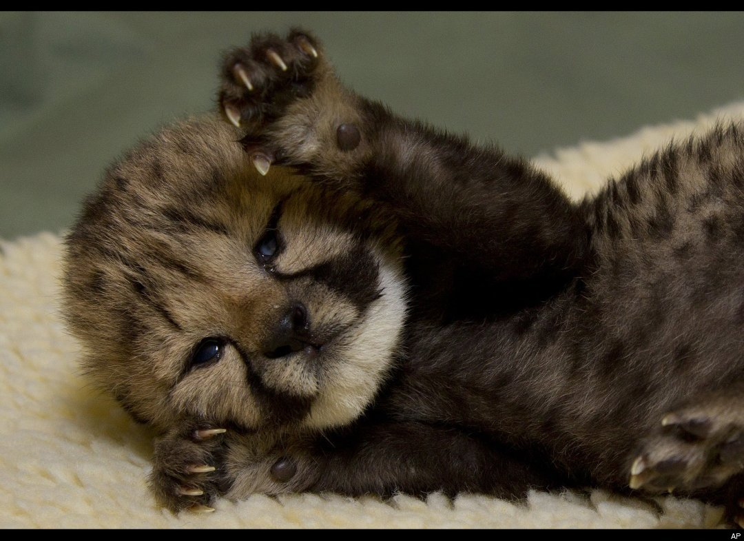 Baby Cheetah Quotes. QuotesGram