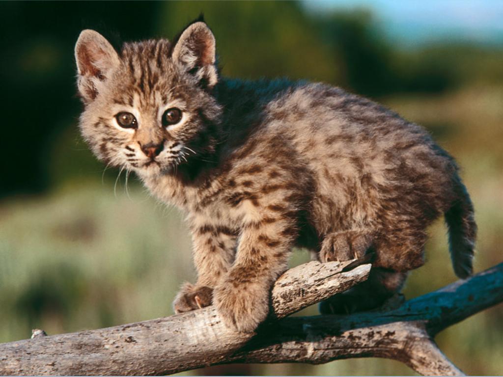 bobcat - photo #11