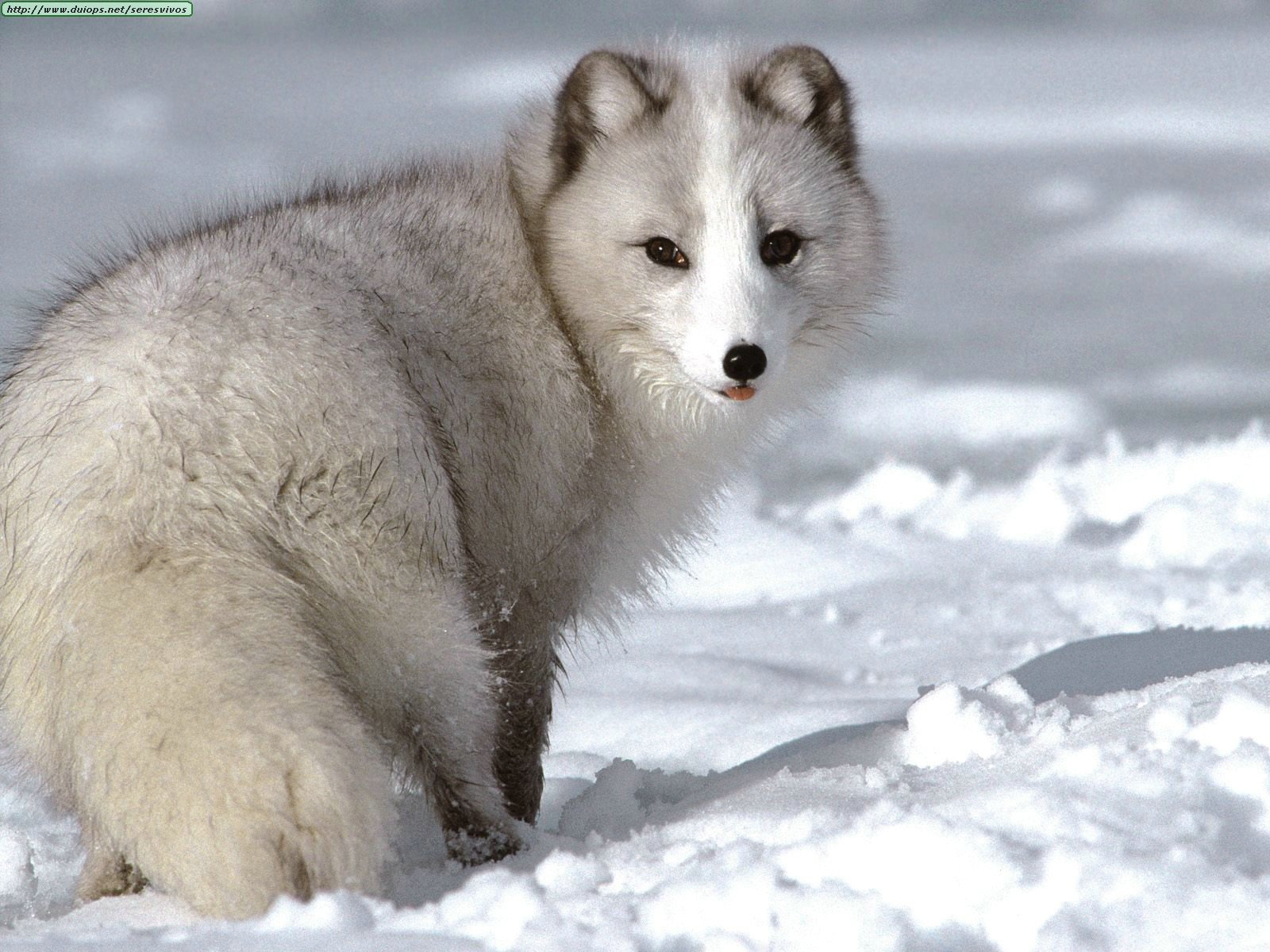 arctic fox tundra artic foxes animals snow polar fur wildlife summer wolf animal facts antarctic wolves antartic winter cub cubs