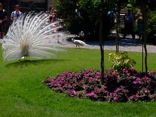White Peacock Palazzo Barromeo Isola Bella Lake Maggiore Italy