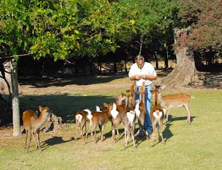 Wayne Feeding the Bowing Deer Nara Park Japan