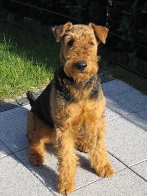 Airedale Terrier Dog How Well
