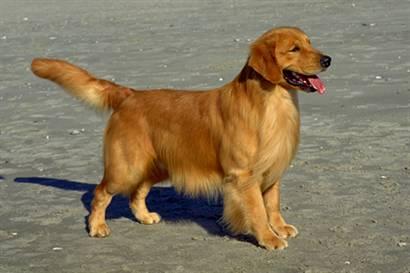 Golden Retriever Dog Lovers Facts About The Golden Retriever