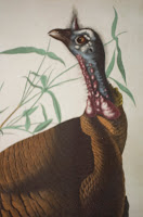 A color illustration of a turkey.