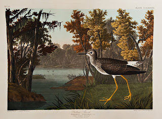 Audubon's image of a yellow shank at the edge of a body of water.