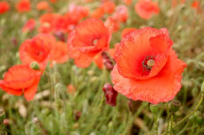 importance of remembrance veteran's day NAMC montessori activities poppies