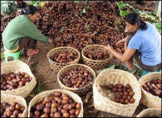 SALAK Permintaan Salak Padangsidimpuan Tetap Tinggi dari Jawa