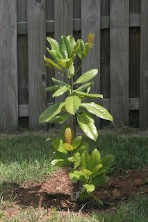 Bonz Blogz Magnolia Tree