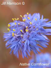 Native Cornflower