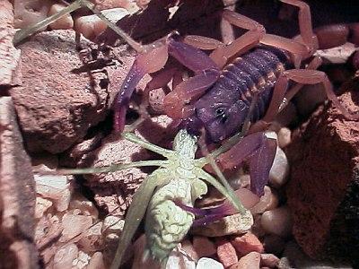 grasshopper cricket eaten by a scorpio