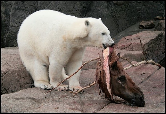 polar bear given a horse head to eat