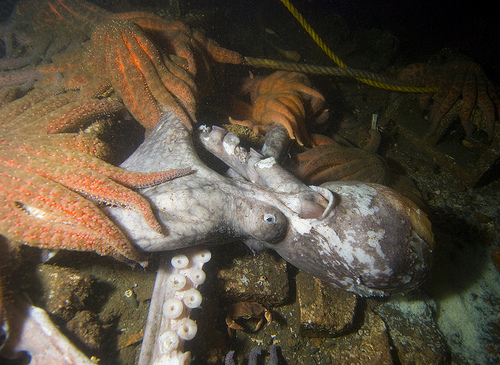 Starfish eating a dead octopus