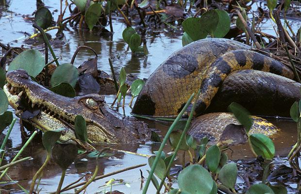 caiman caught by an anaconda