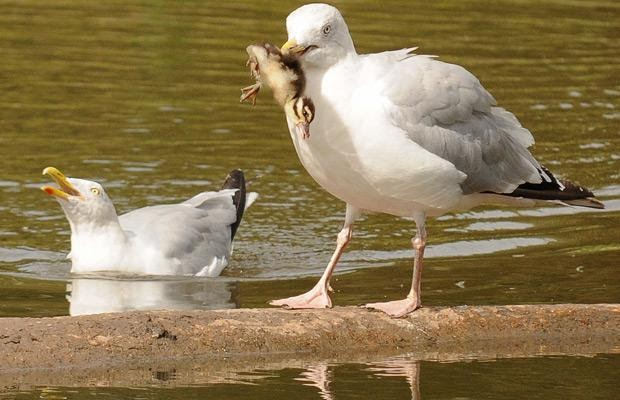 Gull Eating Duck Chick It Out