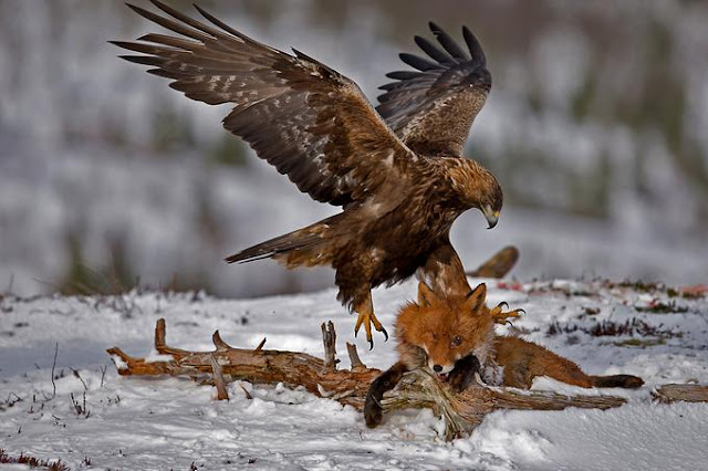 eagle captures a fox, eye ball pops out.