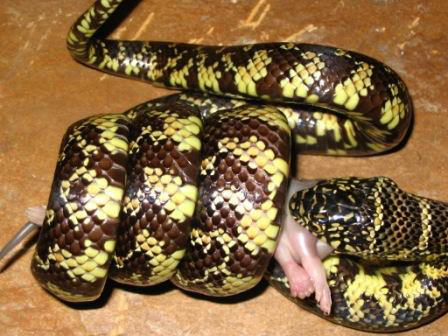 Snakes eating animals | Animals eating Animals - photo#37