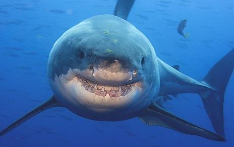 Smiling great white shark photo