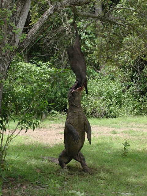 Standing Komodo dragon eating meat hanging from tree