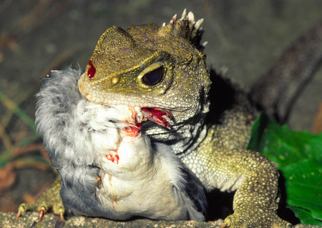 tuatara eating a bird