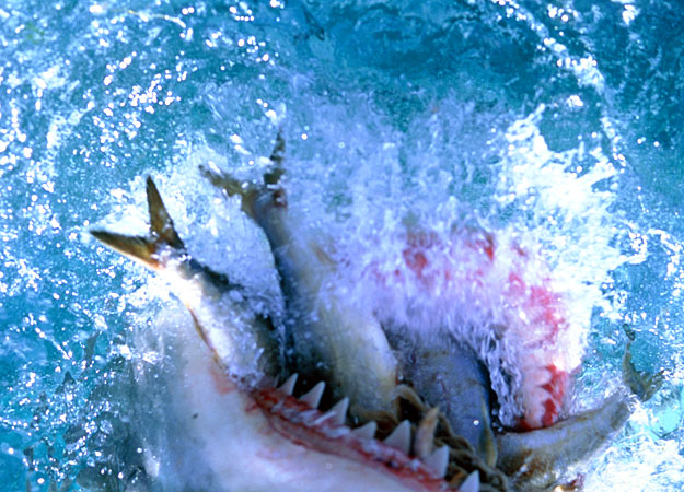 great white with a mouthful of fish