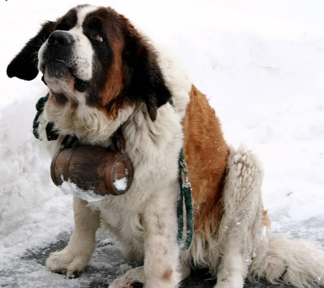 saint bernard with whisky drum