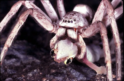 Photos of spiders eating things at least 5 times their size!  Photos of spide...